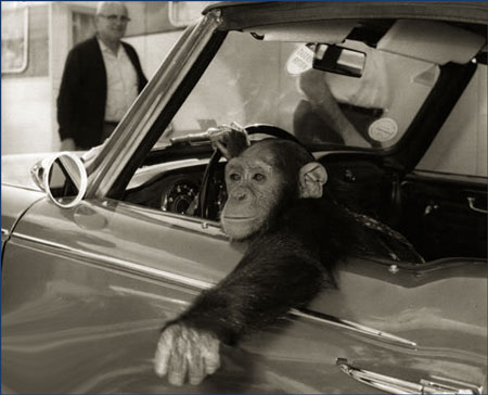 young chimp driving car