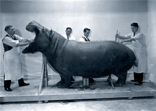 old photo of men in lab coats cleaning a hippo