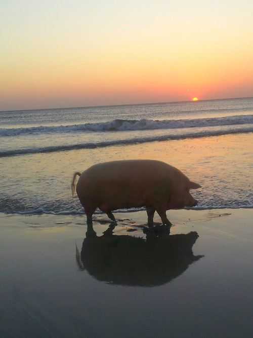 a pig on the beach with sunset
