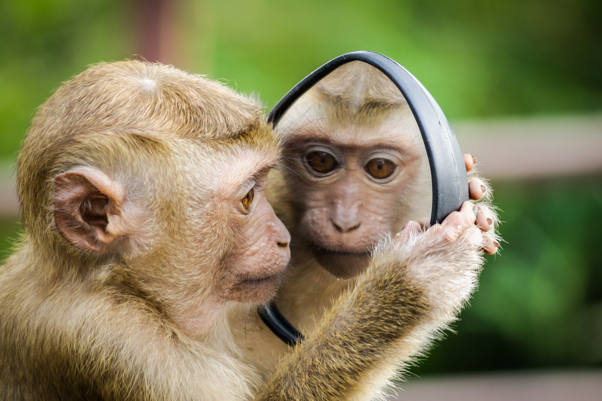 small monkey looks into a mirror